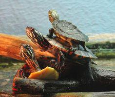 Male Painted Turtle | Eastern Painted Turtle