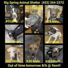 Big Spring, TX  Big Spring Animal Shelter All of these amazing dogs are out of time tomorrow, 8/6 @ 9am if not adopted or rescued!! For more information regarding adoption or rescue, please contact Big Spring Animal Control at 432-264-2372, M-F, 8am to 5pm. If interested in becoming a foster, please contact us asap! Please share so we can save some lives! Thank you! https://www.facebook.com/BigSpringAnimalRescue