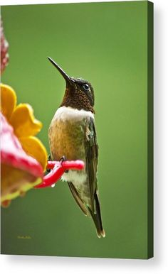 Rainy Day Hummingbird Acrylic Print by Christina Rollo.  All acrylic prints are professionally printed, packaged, and shipped within 3 - 4 business days and delivered ready-to-hang on your wall. Choose from multiple sizes and mounting options.