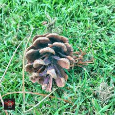 #inthegrass #tph_04 #tph_04_sceris #pinecone #grass #botanicgardens Photos from my travels