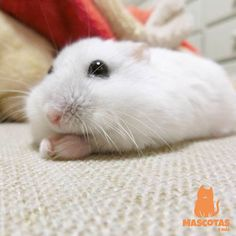 Fluff Wonderland added 144 new photos to the album: Hamsters. Robo Hamster, Hamster Care, Hamster Toys, Guinea Pig Toys, Guinea Pigs, Cute Baby Animals, Animals And Pets, Funny Animals, Funny Hamsters