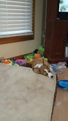 Sleepy time with me toys on the air vent. Purfect spot wif a piwow. #corgi #nap time #pets #Sebastian Reign #dogs #I follow back #pembroke Welsh Corgi #follow back