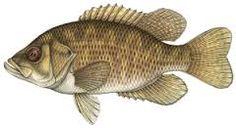Image result for fish ottawa river