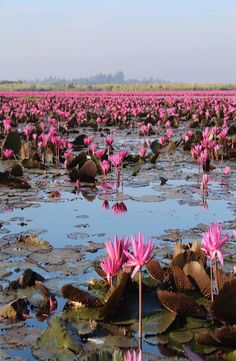 Guide: Red Lotus Sea, Thailand