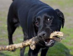 Dog chewing on a stick - stock photo