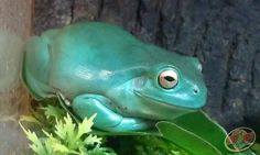 White's Tree Frog-When my frogs are happy they turn this color.
