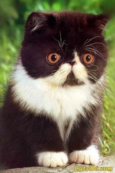 WHY DON'T I HAVE ONE OF THESE FLAT FACED KITTIES?
