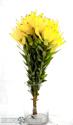 Leucadendron orientale - golden yellow longlasting flowers for bouquets and arrangements