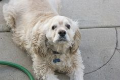 No one wanted Jasper, for 7 months he sat and waited. Then he was set to be killed at a local pet store, because when a pet store can't sell a dog they kill them at a certain aged. Since Los Angeles as well as many cities are now out lawing the sale of dogs and felines from breeders or puppy mills.