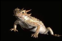 Phrynosoma sp.; Horned Lizard