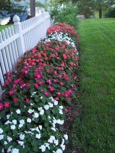 impatiens ~ a beautiful and easy to grow annual