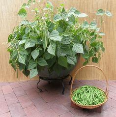 """Container Bush Beans French""""Mascotte"""" The first true container green bean, perfect for pots and small gardens. Fast- growing, compact plants are disease-resistant and heavy yielding with bean pods borne at the tops of the plants."""
