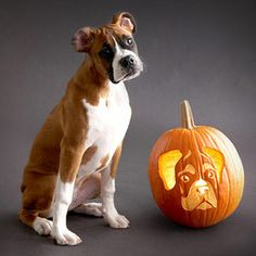 #1 Dog Breed pumpkin stencil:  The Boxer!, Bhg.com
