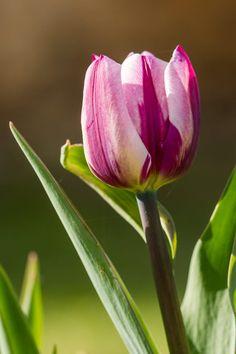Tulip by Gilles Sineau
