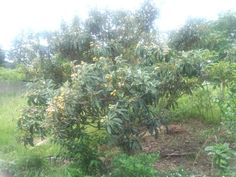 Fruits called Biwa