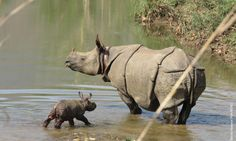 Nepal welcomes a new baby rhino!  WWF-Ensure the world's most iconic species, including tigers, rhinos, and elephants, are secured and recovering in the wild