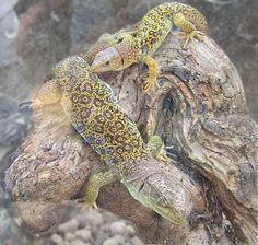 Lagarto común. Se caracteriza por su corpulencia y aspecto macizo. Su cabeza es ancha y triangular, más grande en los machos que en las hembras.