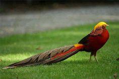 Beautiful Golden Pheasant