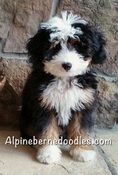 Bernedoodle Breeder by certified veterinary technicians