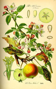 Vintage botanical illustration of apple tree. Illustration Botanique, Art Et Illustration, Botanical Illustration, Art Illustrations, Vintage Botanical Prints, Botanical Drawings, Botanical Art, Impressions Botaniques, Flora Und Fauna