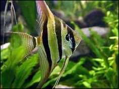 Pterophyllum Scalare or Freshwater Angelfish are One of the Most Popular Tropical fish in the World. The Complete Freshwater Angelfish Breeding & Care Guide. Tropical Freshwater Fish, Freshwater Aquarium Fish, Aquarium Fish Tank, Tropical Fish, Fish Tanks, Fish Aquariums, Tropical Paradise, Fish Tank Design, Discus Fish