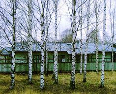 Finnish Birch Trees   Amylin Loglisci