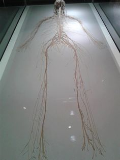 This is the human nervous system. The nervous system is divided Into two different parts. the peripheral nervous system and the central nervous system.