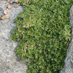 Azorella trifurcata - Coussin des Andes - Azorelle Sun, Perennial Plant, Plants, Yellow