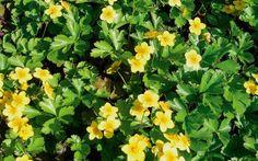 bodembedekkers: waldsteinia ternata of goudaardbei