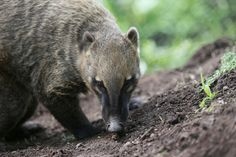 brown-nosed coati at the Oakland Zoo