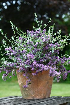 Buy butterfly bush Buddleja × alternifolia 'Unique ('Pmoore12') (PBR)': Delivery by Crocus