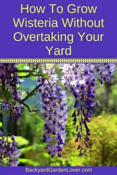 Learn how to grow beautiful wisteria vines without letting it overtake your yard. #wisteria #vines #flowers #backyard #springflowers
