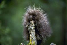 Did you know a baby porcupine is called a porcupette? These cute critters have soft hair mixed with barbed quills that stick up when they feel threatened to deter predators. Porcupines sleep in trees and feed on the inner bark, twigs and leaves. They...