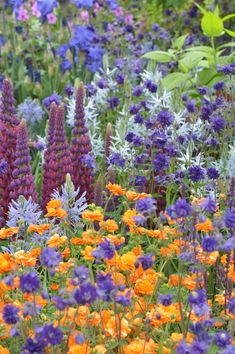 Blue Aquilegias, pale blue Camassia, orange Geum and Lupin Masterpiece