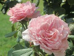 James Galway Rose - Roses and Other Gardening Joys: I Take It Back!