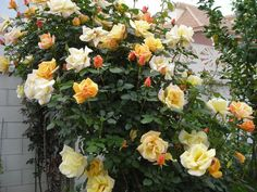 Yellow climbing roses by juani lancho