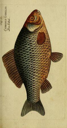 Atlas - D. Marcus Elieser Bloch's, ausübenden Arztes zu Berlin ... Ökonomische Naturgeschichte der Fische Deutschlands (1783) : - Biodiversity Heritage Library