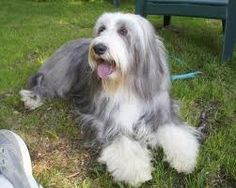 Bearded Collie--This will be our next furbaby.