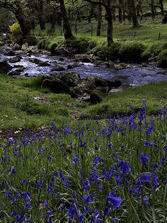 Bluebells on Dartmoor next to the River Plym just below Cadover Bridge - Devon, England