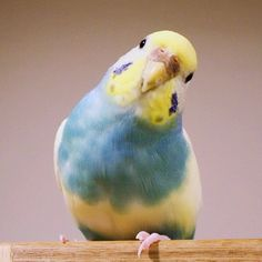 what's up? - budgerigar - Twitter / @kotorinai