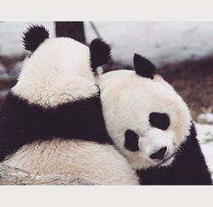 Pandas Daily  (@DaiIyPandas) | Twitter