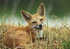 Smiling fox - Pixdaus