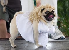 "Dogs Dress Up At Annual ""Pug Parade"""