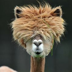 What a party animal! This llama's ginger crop recalls the spiky look of our favorite redheaded royal: Prince Harry.