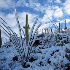 Check out this slideshow Snow Falling on Saguaros, a Tucson Winter Spectacle in this list The Natural Wonders of Arizona Snow In Arizona, Arizona Winter, Cactus, Evergreen Forest, Travel Magazines, Get Outside, Best Memories, Natural Wonders, Tucson