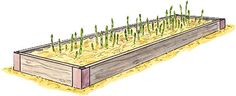 Tips for growing asparagus in raised beds.