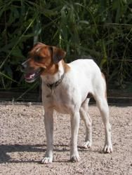 Woody is an adoptable Jack Russell Terrier Dog in Donna, TX.  ...