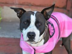 SAFE - 04/08/15 - TO BE DESTROYED - 04/07/15 - LIPTON - A1031388 ** SAFER: BEGINNER HOME*** Lipton should make you stop dead in your tracks. She is only a pup at eighteen months old and she tested BEGINNER in her behavioral SAFER.