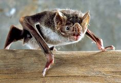 Bats are widely regarded as dark and mysterious creatures, none more so than the vampire bat. But is the vampire bat really as scary as it sounds? Vampire Bat Facts – Questions And Answers!