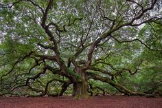 https://flic.kr/p/qgBm28 | Angel Oak Tree | The giant limbs of the Angel Oak tree spread across its canopy and the ground beneath it. I photographed the tree during three overcast and rainy days which helped keep the contrast down and bring out some of the details. This is a different point of view which I liked as well. The Angel Oak Tree is a Southern live oak (Quercus virginiana) located in Angel Oak Park on Johns Island near Charleston, South Carolina. The Angel Oak Tree is estimate...